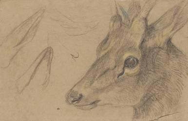 Etude d'une tête de chevreuil ou d'antilope, tournée vers la gauche (Pieter Boel) - Muzeo.com