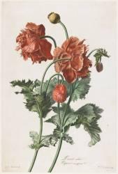 Pavot cultivé (Gérard van Spaendonck) - Muzeo.com
