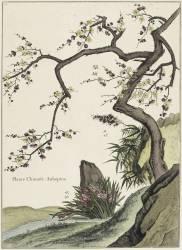 Plante Chinoise (aubépine) (Louis de Chastillon) - Muzeo.com
