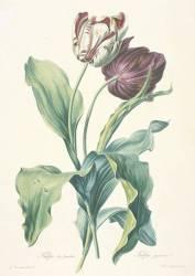 Tulipe des Jardins (Gérard van Spaendonck) - Muzeo.com