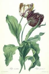 Tulipe du Jardin (Gérard van Spaendonck) - Muzeo.com