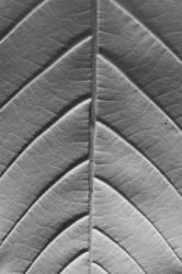 Feuille de châtaignier (Jim Occi) - Muzeo.com