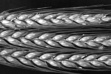 Têtes de graines de graminées (Jim Occi) - Muzeo.com