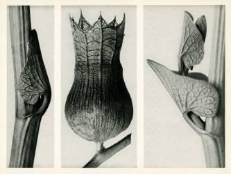Aristoloche clématite (Karl Blossfeldt) - Muzeo.com