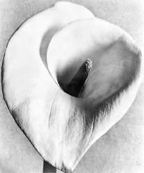 Arum Blanc, Mexico (Tina Modotti) - Muzeo.com