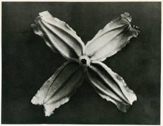 Clématite à feuilles entières (Karl Blossfeldt) - Muzeo.com
