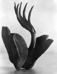 Flor de Manita (Tina Modotti) - Muzeo.com
