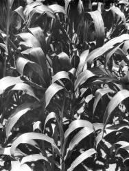 Maïs, Mexique (Tina Modotti) - Muzeo.com