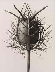 Nigelle de Damas dans sa capsule (Karl Blossfeldt) - Muzeo.com