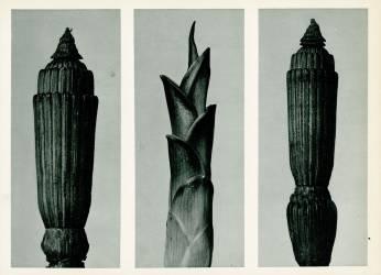 Prêle d'hiver (Karl Blossfeldt) - Muzeo.com