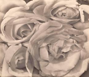 Roses, Mexico (Tina Modotti) - Muzeo.com