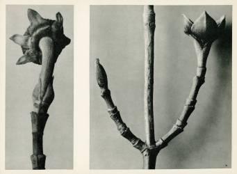 Sans Titre (Karl Blossfeldt) - Muzeo.com