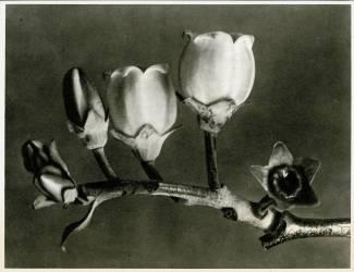 Vaccinium Corymbosum (Karl Blossfeldt) - Muzeo.com