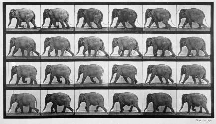 Animal Locomotion : Éléphant marchant (Eadweard Muybridge) - Muzeo.com