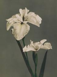 Iris Japonais (Ogawa Kazumasa) - Muzeo.com
