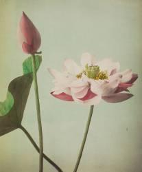 Lotus (Ogawa Kazumasa) - Muzeo.com