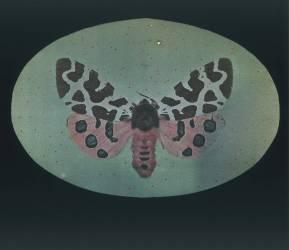 Papillon de nuit tigre (Arthur E. Morton) - Muzeo.com