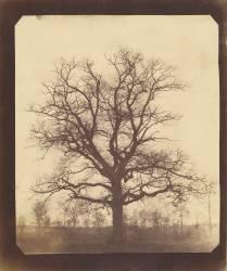 Chêne en hiver (William Henry Fox Talbot) - Muzeo.com