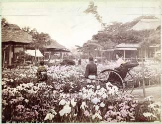 Jardin des iris à Tokyo (Felice Beato) - Muzeo.com