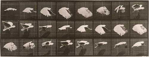 Le Perroquet volant (Muybridge Eadweard) - Muzeo.com