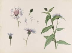 Centaurée (Emile Gallé) - Muzeo.com