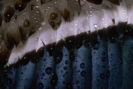 Détail du plumage d'un canard colvert (Darrell Gulin) - Muzeo.com