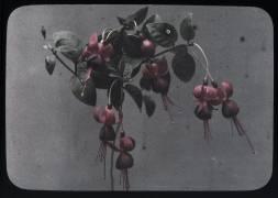 Fucshia (Arthur E. Morton) - Muzeo.com